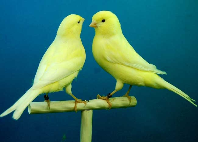 Pet Birds in Essex - Budgies, Canaries, & Finches