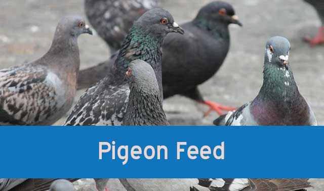 Pigeon Feed