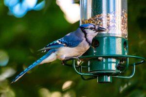 Wild Bird Feed, blue jays, cardinals - Essex Feed Warehouse